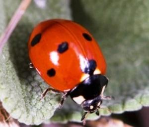 startingsmall_ladybug