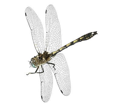 What do dragonflies eat?